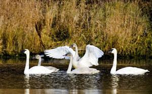 cisnes.jpg